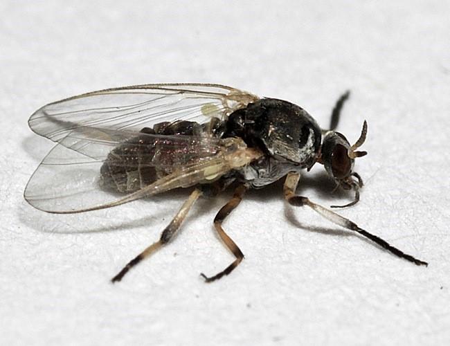 Kriebel Mücke