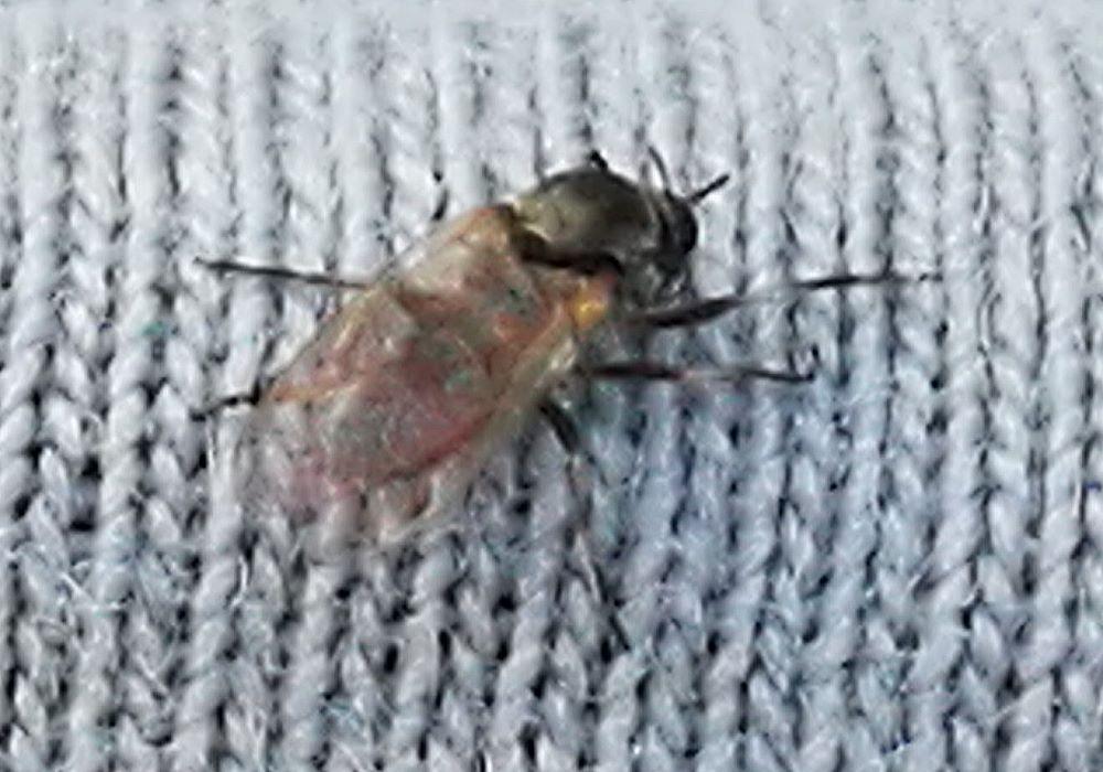 Krieblmücken Weibchen, Foto: Daniel Weihmann